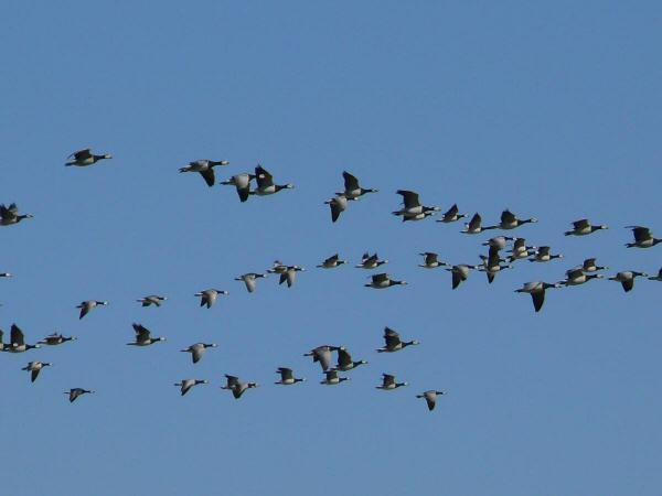Las aves migratorias han cambiado sus rutas y rutinas de viaje en las últimas décadas.